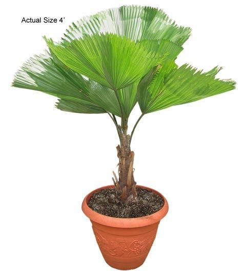 70 best images about small exotic plants and palm trees on pinterest trees chinese fan palm - Small trees for indoors ...