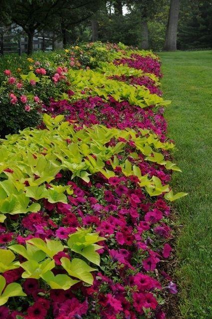Great color combo sweet potato vines and purple petunias