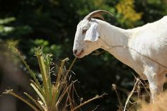 How to Make a Five-Year Business Plan for the Meat Goat Business