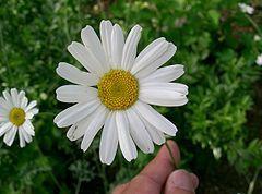 TIPS:...     Tanacetum cinerariifolium - Wikipedia, la enciclopedia libre