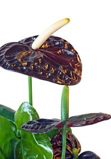 http://holmsundsblommor.blogspot.se/2010/11/black-queen-heter-denna-underbara.html#links Flamingo Anthurium Black Queen