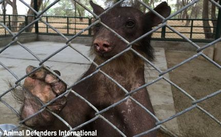 "Animal advocates and authorities are working together to save Cholita, a severely abused bear who was rescued from what would have been a lifetime of suffering in an illegal circus in Peru.  Dubbed a real-life Paddington bear after the popular children's books that tell tales of a bear from ""darkest Peru,"" Cholita now resembles almost nothing of the endangered Andean bear she is."