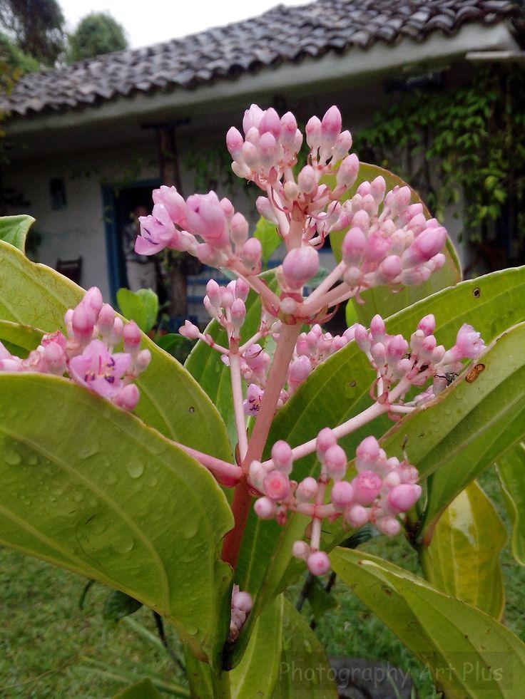 Macro pink Popayán Flowers