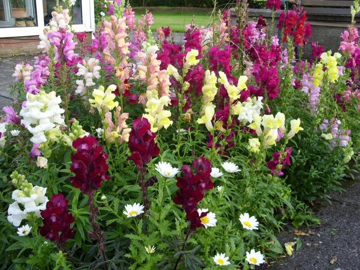 Snapdragon garden kelli 39 s northern ireland garden april for Garden design ideas northern ireland