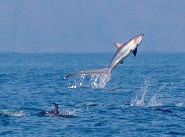 16-foot Thresher Shark Photographed Leaping Among Dolphins