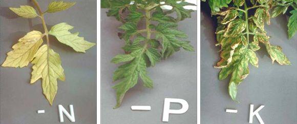 Nutrients - Nitrogen, Phosphorus and Potassium How to identify plant nutrient deficiency.