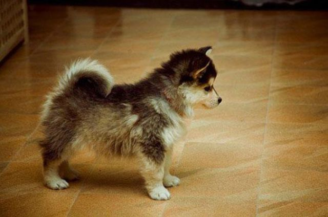 Pomski- Pomeranian and Husky