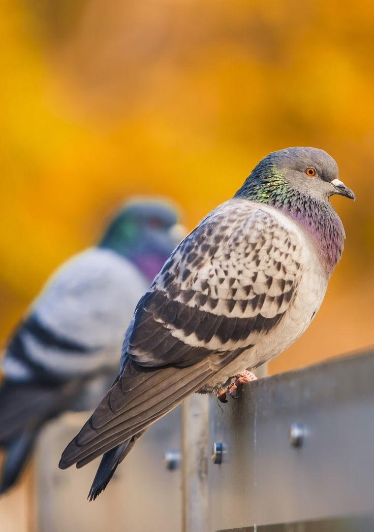 Picture of beautiful pigeons.