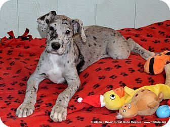 Bethel, OH - Great Dane. Meet Karissa a Puppy for Adoption.