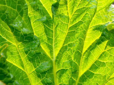 Let op: De bladen van rabarber zijn absoluut niet geschikt voor consumptie!