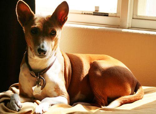 33 hypoallergenic dog breeds