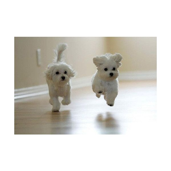Cute Running Puppies ❤ liked on Polyvore featuring animals, pictures, backgrounds, pets and dogs