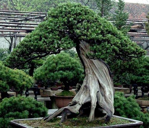 400 to 800 year old trees in Happo-en Garden are an attraction for any bonsai lover visiting Tokyo.