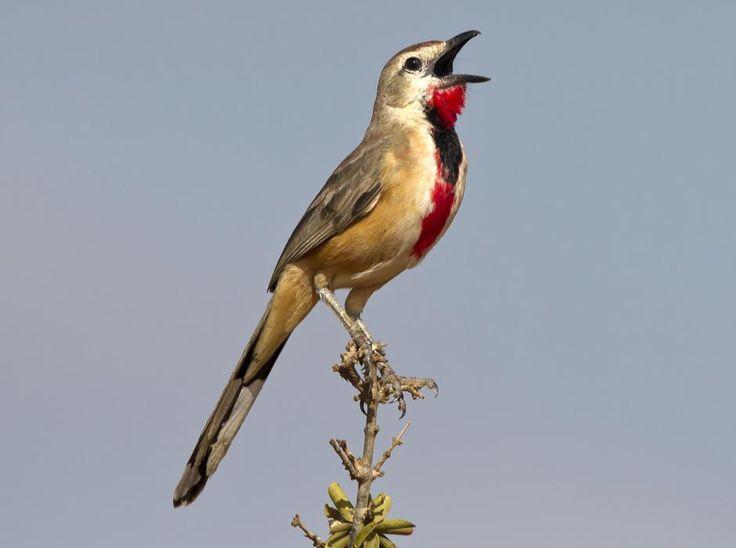 The Rosy-patched Bushshrike (Rhodophoneus cruentus).  It is found in Djibouti, Egypt, Eritrea, Ethiopia, Kenya, Somalia, Sudan, and Tanzania.