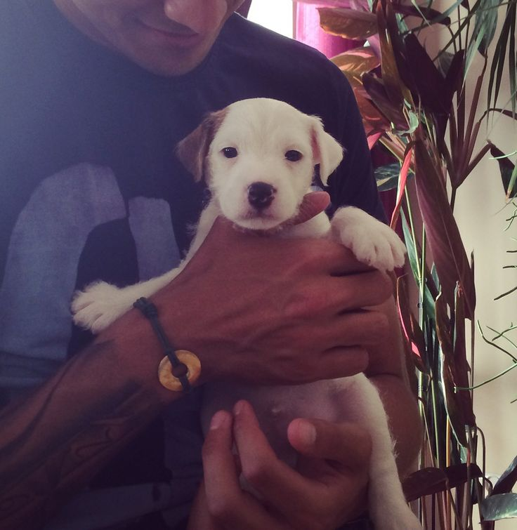 Parson russell terrier sweet puppy