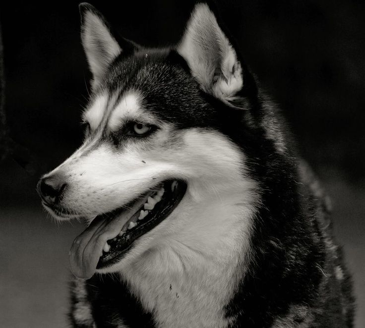 Looks like fargo dog obsessed husky malamute husky