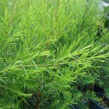 15 unids/bolsa Australia semilla de árbol de té de Melaleuca Alternifolia semillas refrescante plantas semillas de vainilla acné eliminación de plantas(China (Mainland))