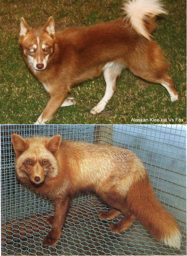 dog that looks like a fox - 736×1009