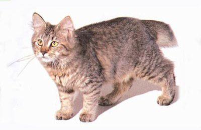 Порода короткохвостых кошек пикси боб