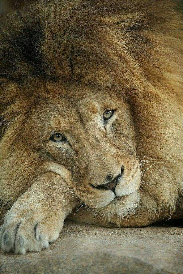 In memory of Cecil the lion.                                                                                                                                                                                 More
