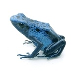 Poison Frogs for Sale | Buy a Poison Frog from GeneralExotics.com Reptiles and Amphibians
