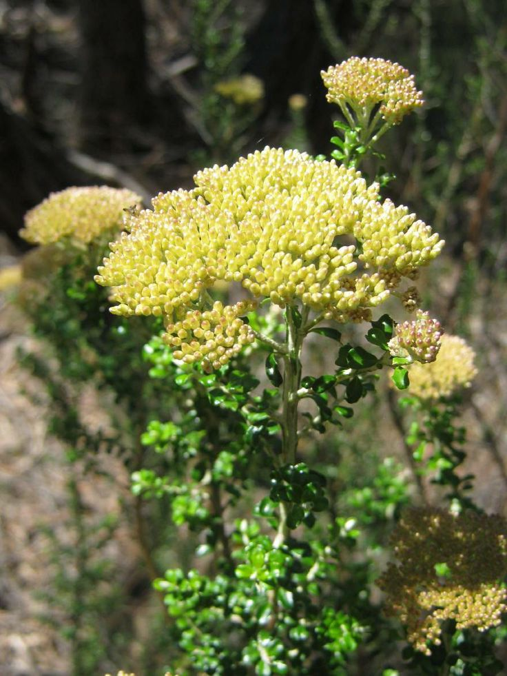 Ozothamnus obcordatus (Grey Everlasting) is a shrub in the family Asteraceae, native to the states of Queensland, New South Wales, Victoria and Tasmania in Australia.