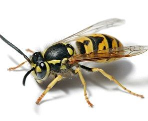 The 10 most painful stings (10 being the lesser) on the planet, by the self-sacrificing man who tried 150 different varieties in the name of science. 1) KING OF THE STINGS: BULLET ANT 2) TARANTULA HAWK 3) PAPER WASP 4) RED HARVESTER ANT 5) HONEYBEE 6) YELLOWJACKET 7) BALD-FACED HORNET 8) BULLHORN ACACIA ANT 9) FIRE ANT 10) SWEAT BEE