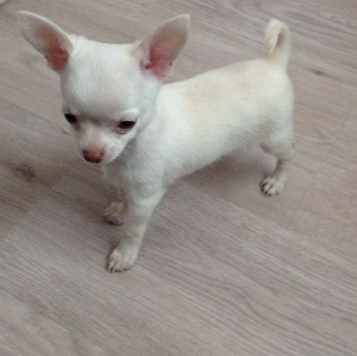 Best 10 White Chihuahua Ideas On Pinterest Chihuahua