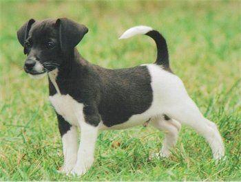 Jack-a-bee at 12 weeks old. (Beagle / Jack Russell Terrier hybrid)