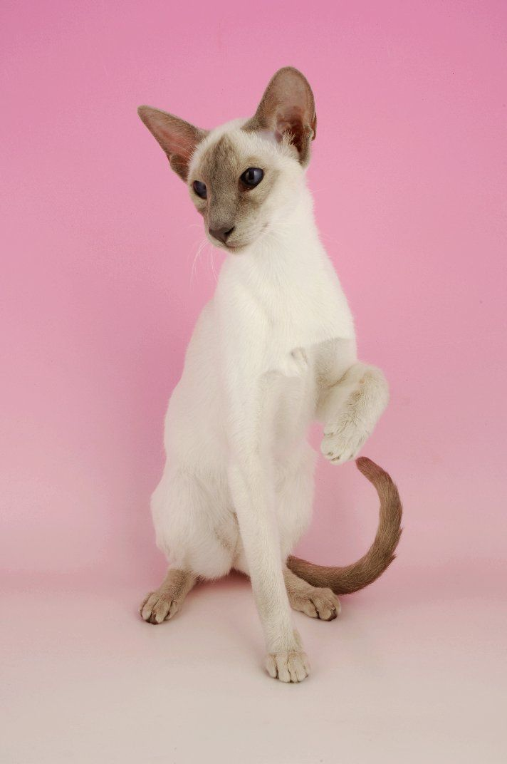 ... Sale Siamese Cats For Sale Siamese Cats up For Stud Siamese Breeders -What kind of cat breeds fit you most at catsincare.com!