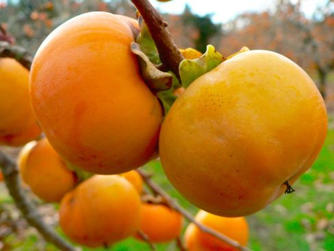 10 underused trees and shrubs for the fruitful edible yard - Thoughts for the future orchard, the Garden Planner from growveg.com has just added another 30 fruit and nut trees to its selection....