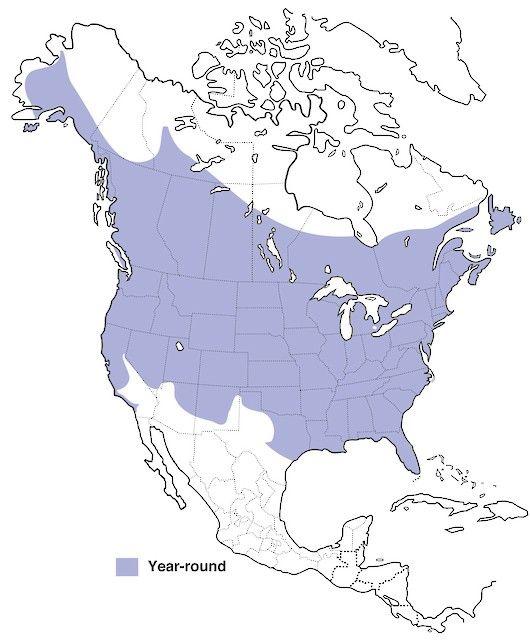 Downy Woodpecker - | Birds of North America Online
