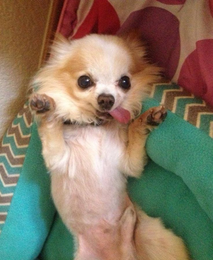 Furby is a 10 year old Chihuahua rescued by National Mill Dog Rescue from a puppy mill.