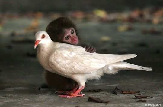 This monkey trying to comfort this pigeon after he got his first speeding ticket.   29 Examples Of Animals Helping Their Interspecies Friends