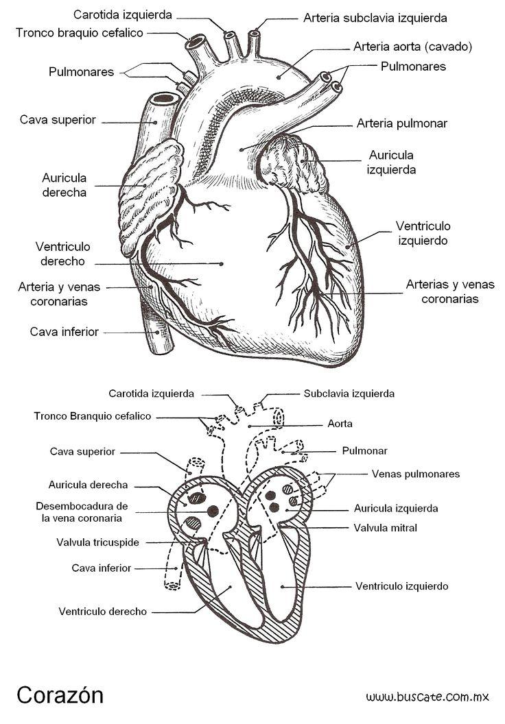 top 25  best partes del corazon humano ideas on pinterest
