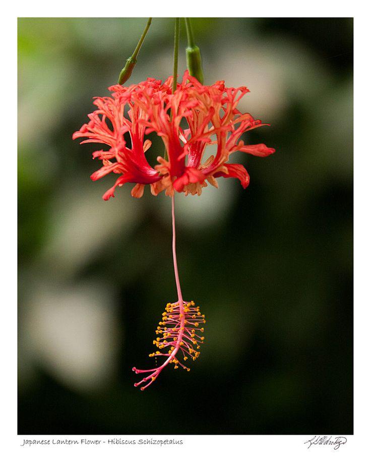 Japanese Lantern Flower (Hibiscus Schizopetalus)