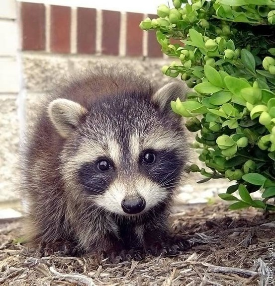 17 best images about raccoon How to keep raccoons out of garden