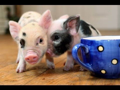 Cute Mini Pigs Compilation It's time for this cute little piggies to take over the internet. Just look how excited and playfull they are! So adorable! Rate, ...