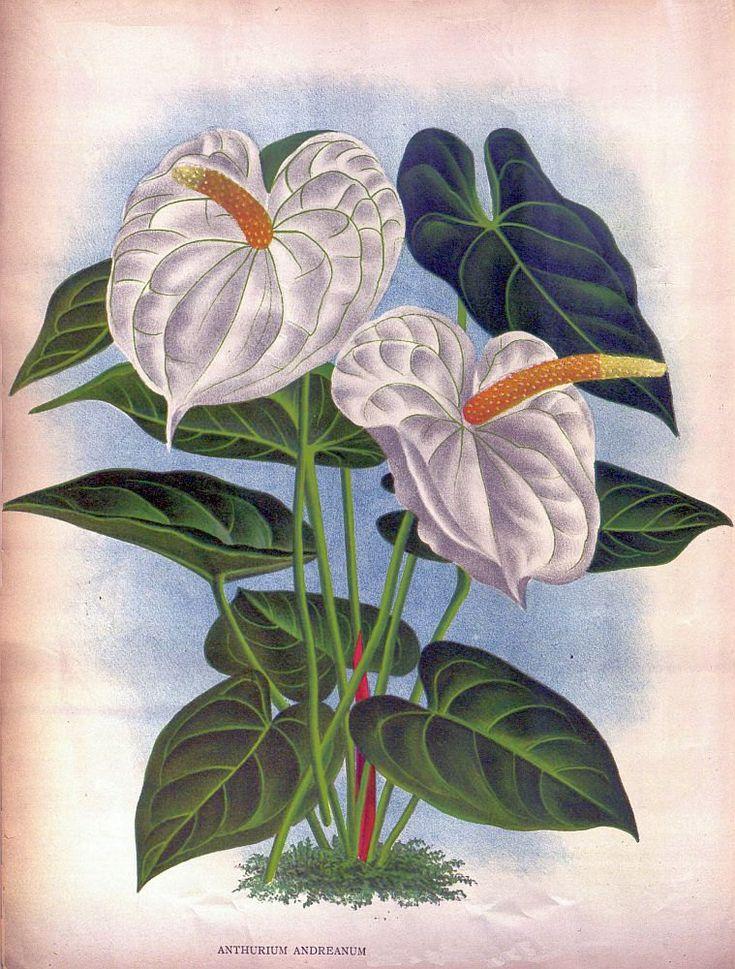 Antique french botanical print white anthurium tropical flower illustration.