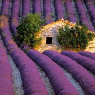 20 stunning pictures of french lavender fields - French Lavender