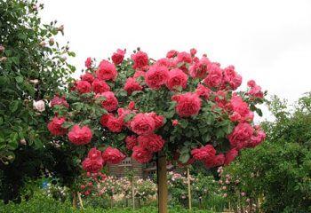 Лучшие сорта роз с фото и названиями   Розы, Цветоводство ...