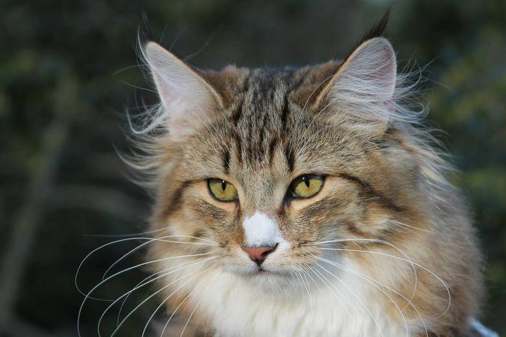 Lora <3 A norvég erdei macska fennséges, misztikus de nagyon kedves állat. :)