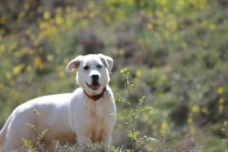 Ella es Nuka, una perrita mezcla de labrador con mastín y husky, es buenísima y muy dulce, aunque tiene un espíritu aventurero.