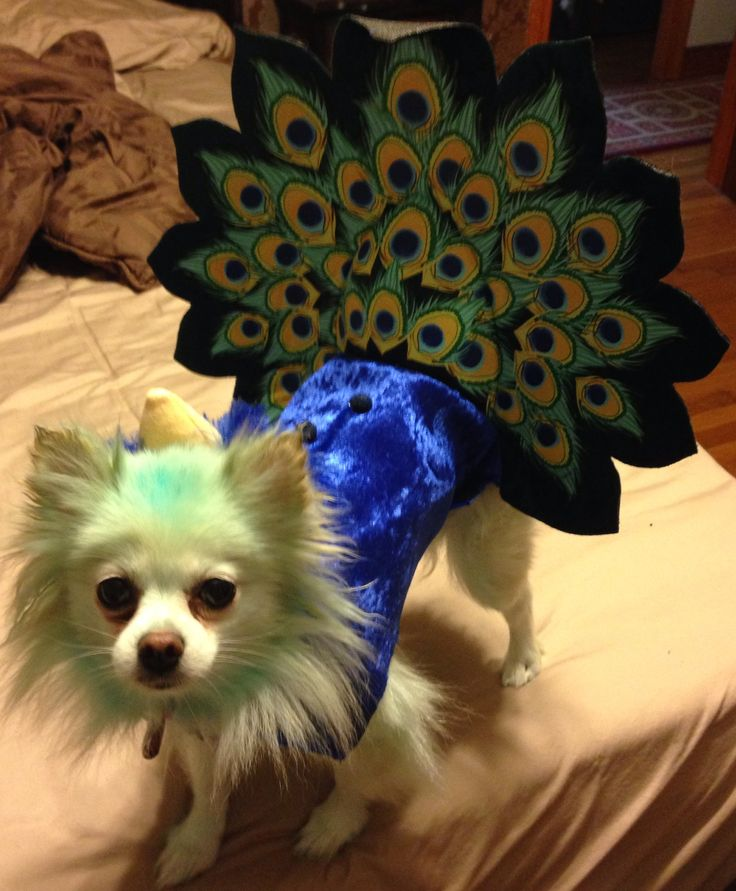 Peacock Dog Halloween Costume Pomeranian Poms Dog