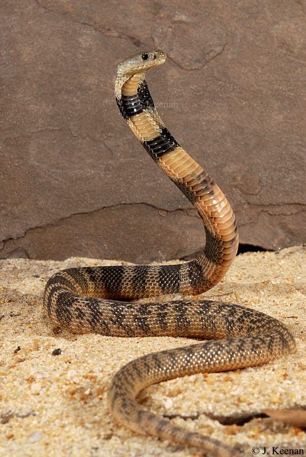 Central asian sidewinder snake