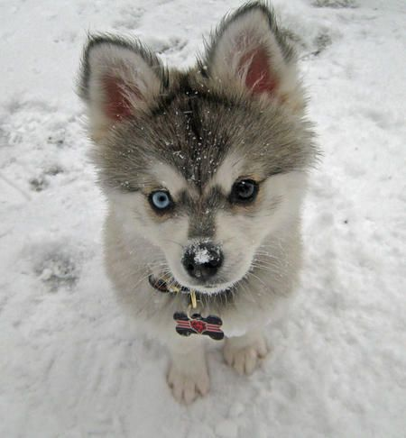 puppies..i want him.: Husky Puppys, Siberian Husky, Blue Eye, Adorable, Baby, Green Eye, Dogs Tags, Animal, Eyes