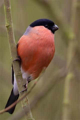 Male bullfinch at Sculthorpe Moor  Contributed by: Graham Bronlow