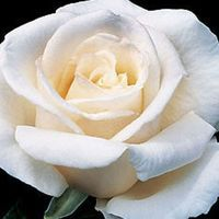 Full Sail - Roses - Heirloom Roses