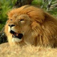 Lion HD desktop wallpaper | Download Free Lion HD Wallpaper | Free Full HD Loin Wallpaper