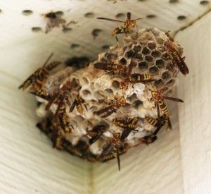Wasp Removal: If you find a wasp nest or discover a wasp problem near your home, you should call a professional to deal with the problem as soon as possible. Contact 305-933-2333. #WaspRemoval